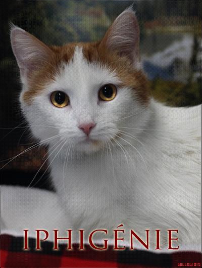 Iphigénie || Chatte Domestique || Libre. Iphigenie